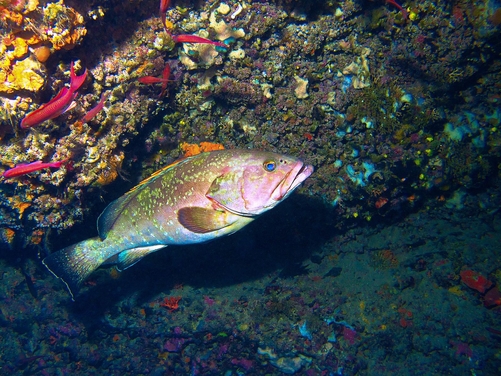 A grouper found on a scuba dive in Spain