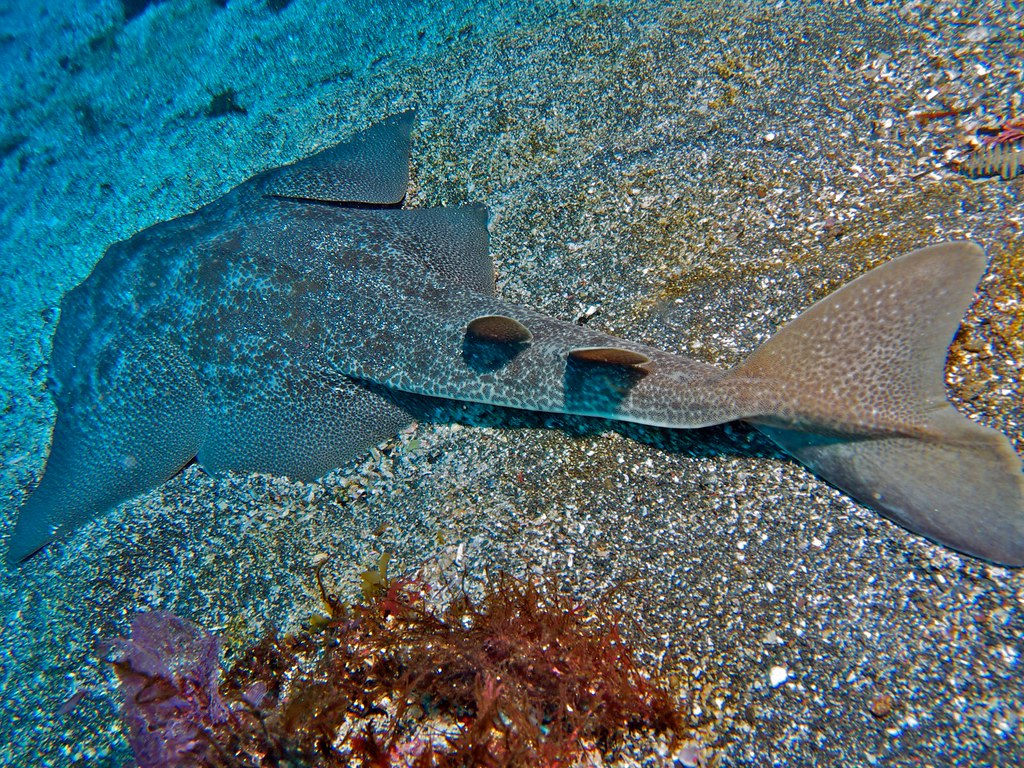 Deadliest Sharks in Britain - Angel Shark
