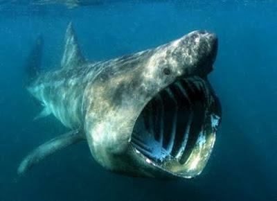 Deadliest Sharks in Britain - basking shark
