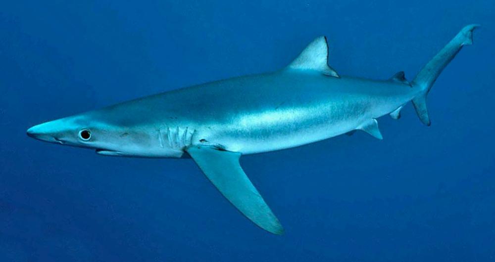 Deadliest Sharks in Britain - Blue Shark