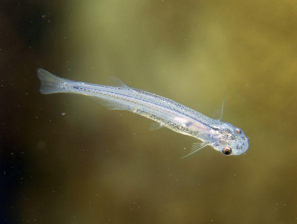 Top 10 most dangerous fish - candiru