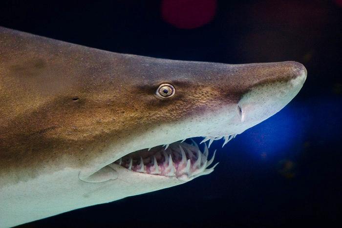 Deadliest Sharks in Britain - Nurse Shark