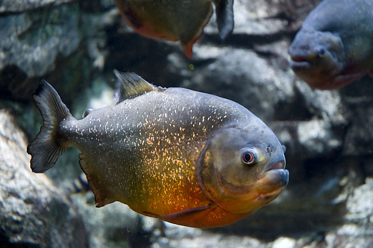 Top 10 most dangerous fish in the world - piranhas