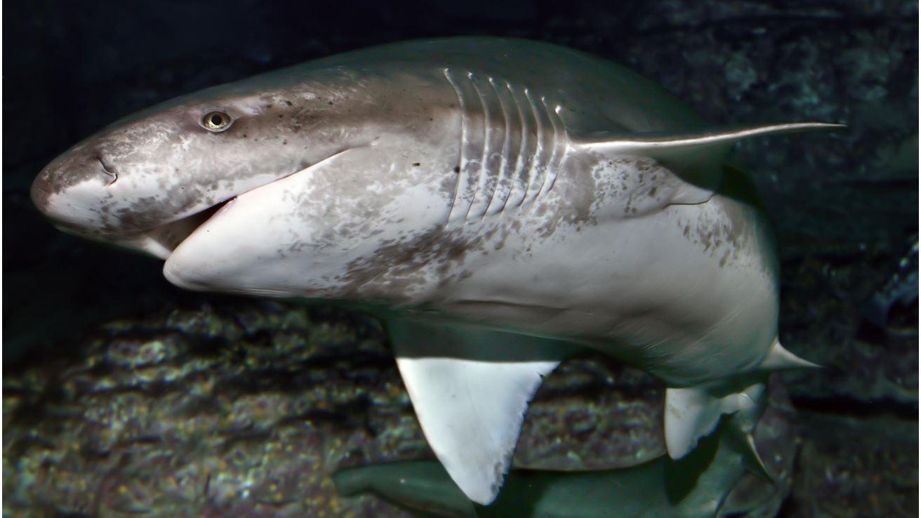 Deadliest Sharks in Britain - Sharpnose Sevengill Shark