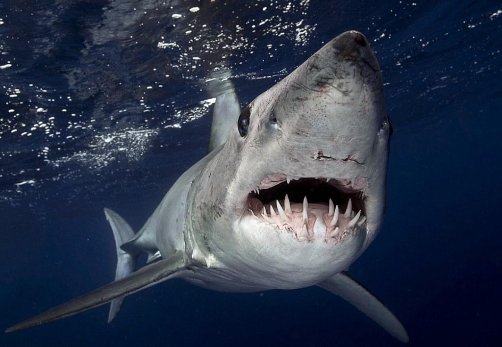 Deadliest Sharks in Britain - Shortfin Mako Shark