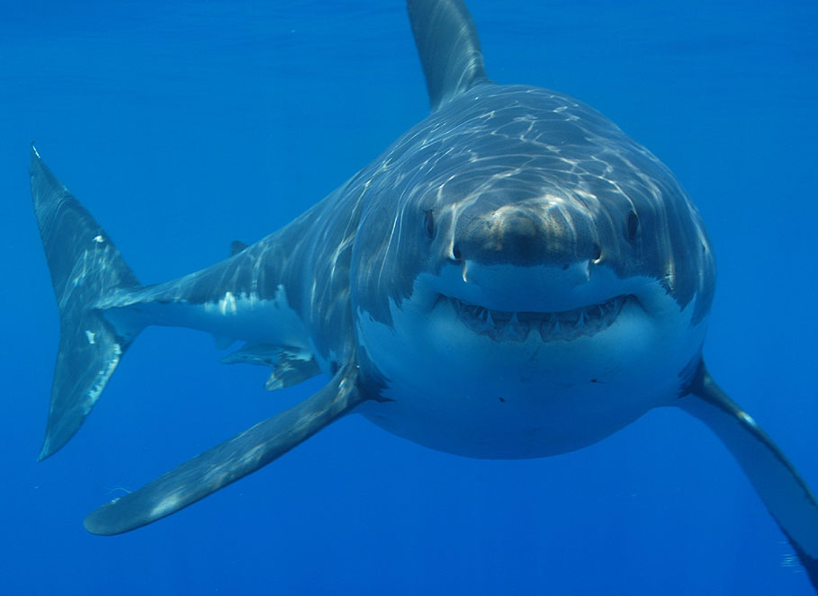 Top 10 most dangerous fish - the Great White Shark