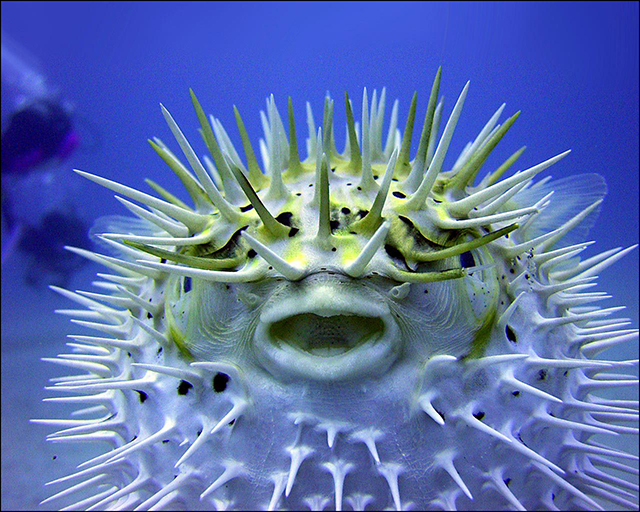 Top 10 most dangerous fish - the Puffer Fish