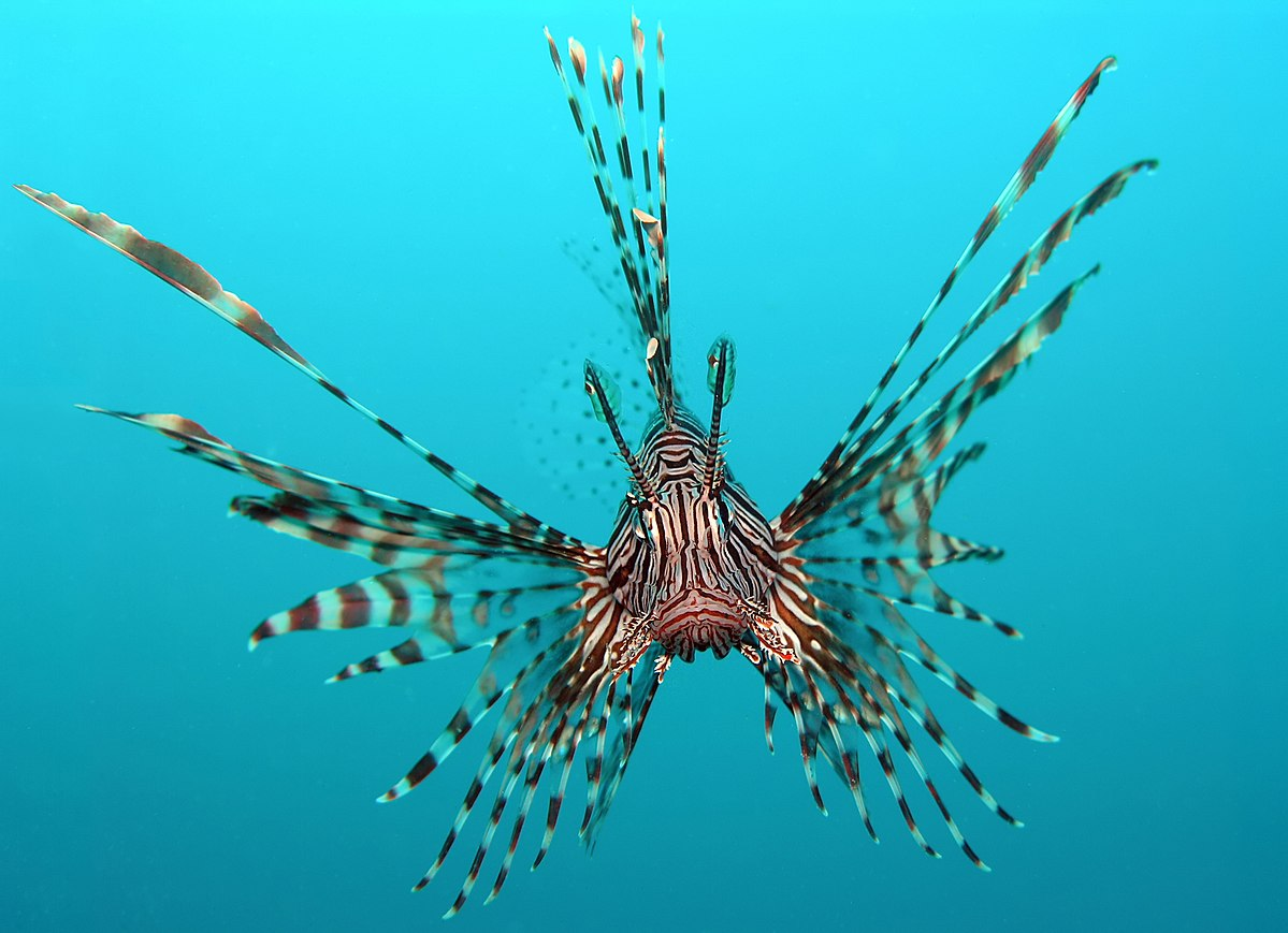 Top 10 most dangerous fish - the Red Lion Fish