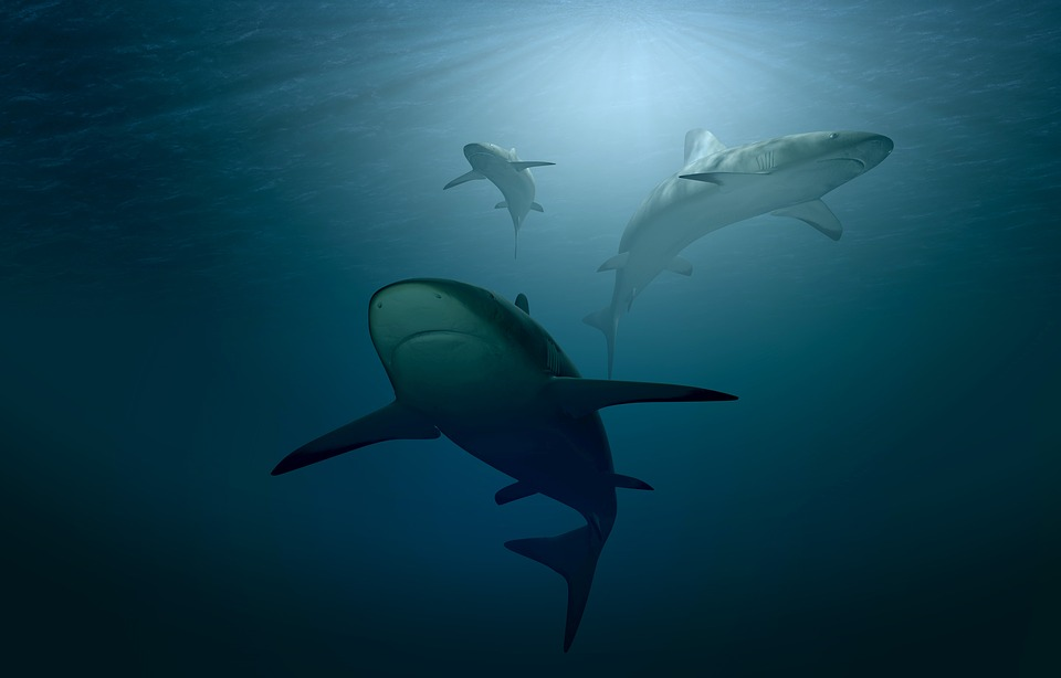 Three sharks swimming in the ocean