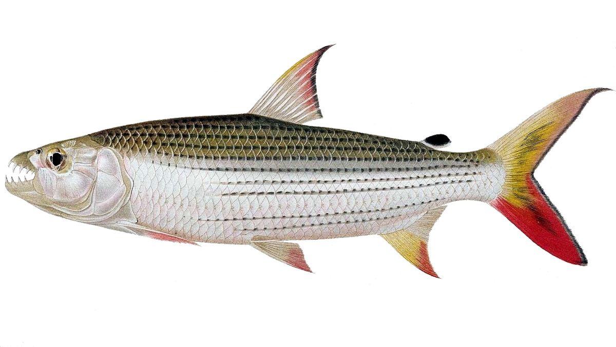 Top 10 most dangerous fish - Tigerfish