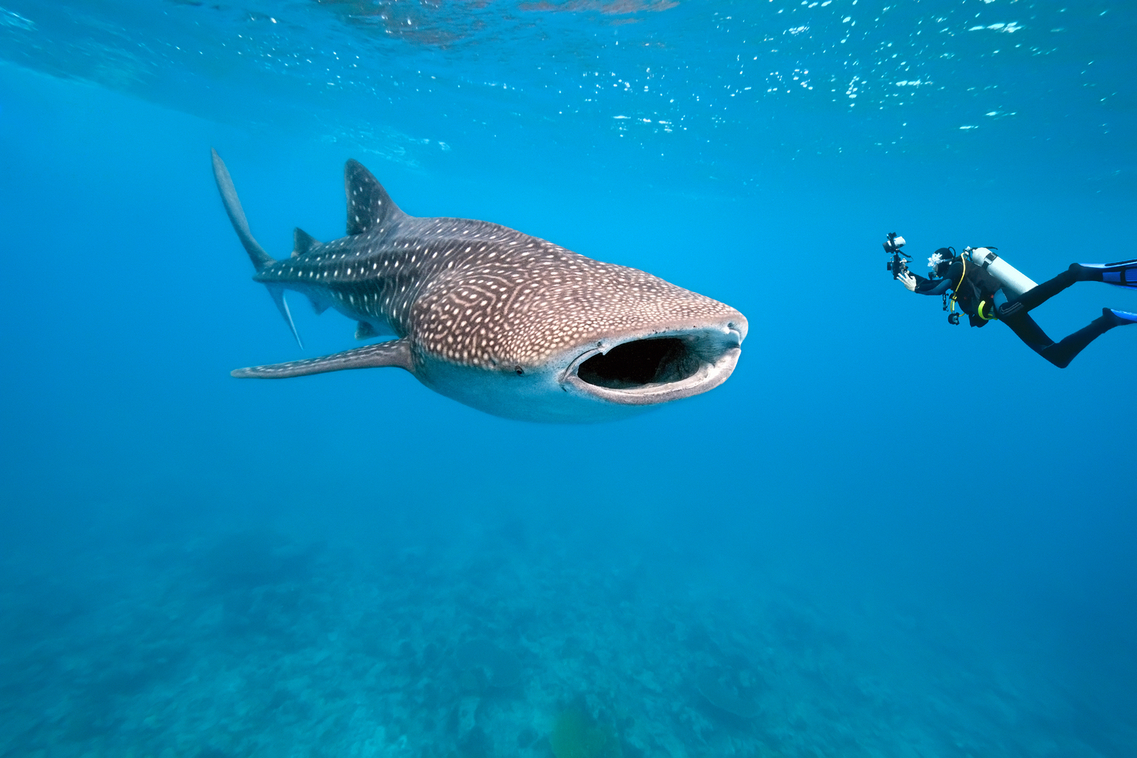 Diving and Swimming with Whale Sharks