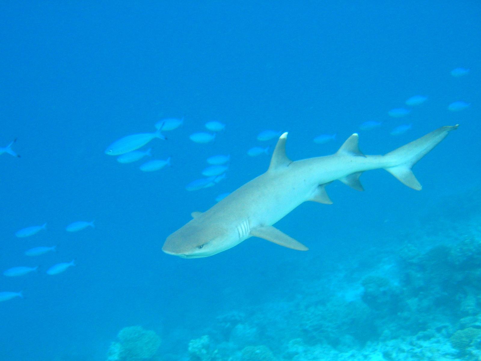Deadliest Sharks in Britain - White Tip Shark