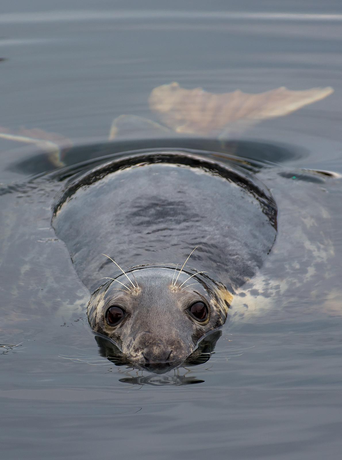 seal diving scuba