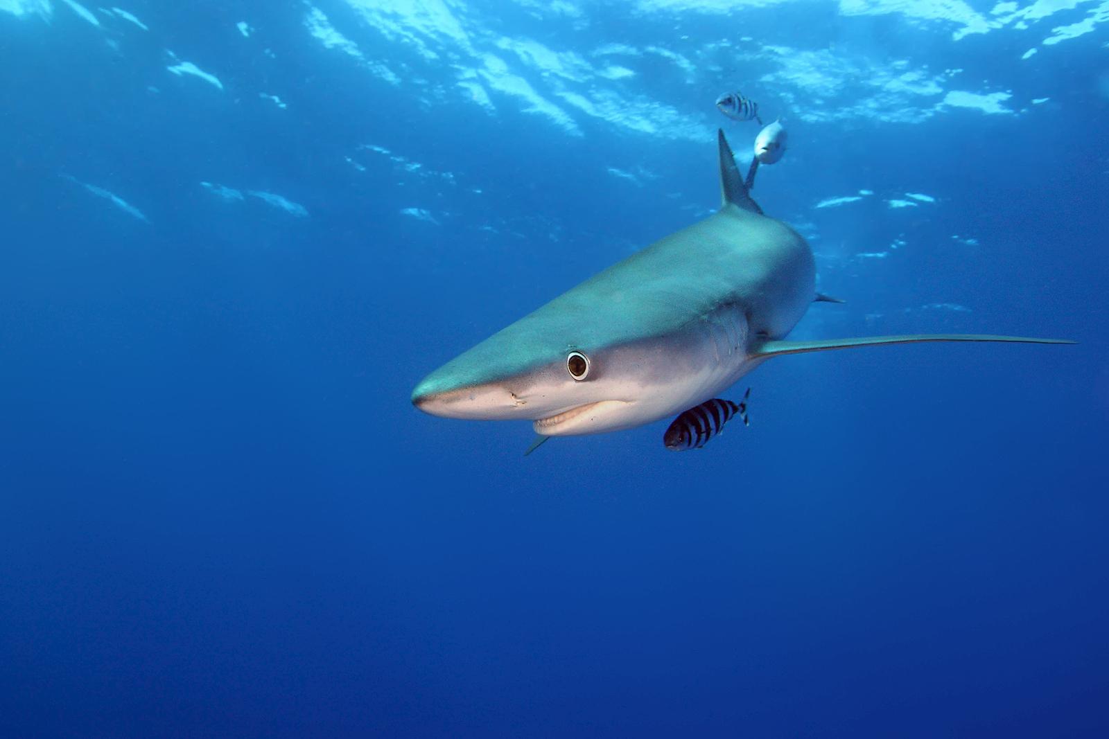 blue shark cornwall