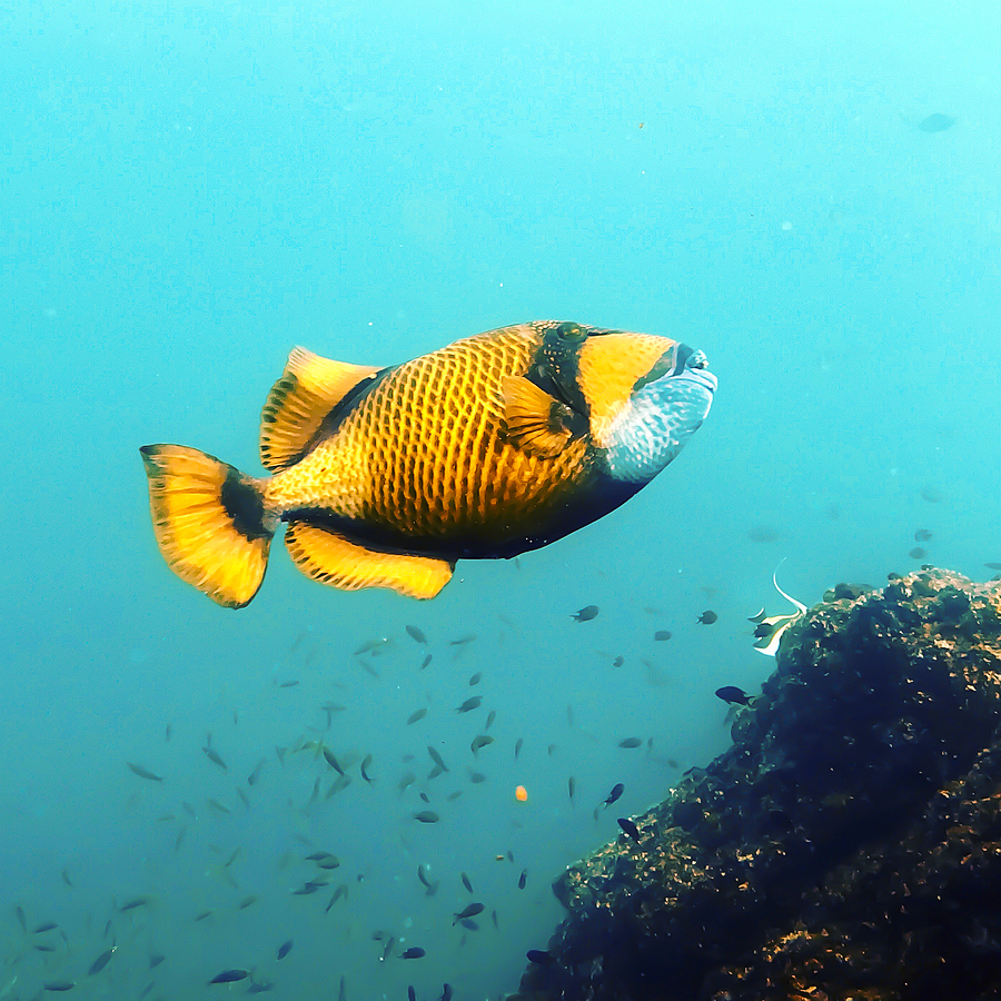 Triggerfish While Diving The Similan Islands Thailand