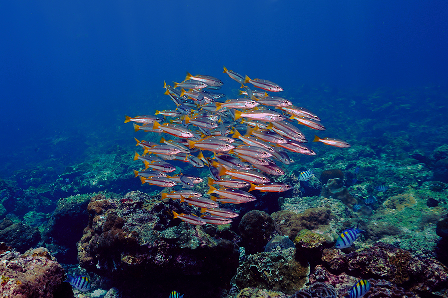 Underwater Photo Of School Of Fish At The Coral Reef. From A Scu