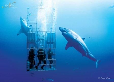 Guadalupe Great White Cage Diving