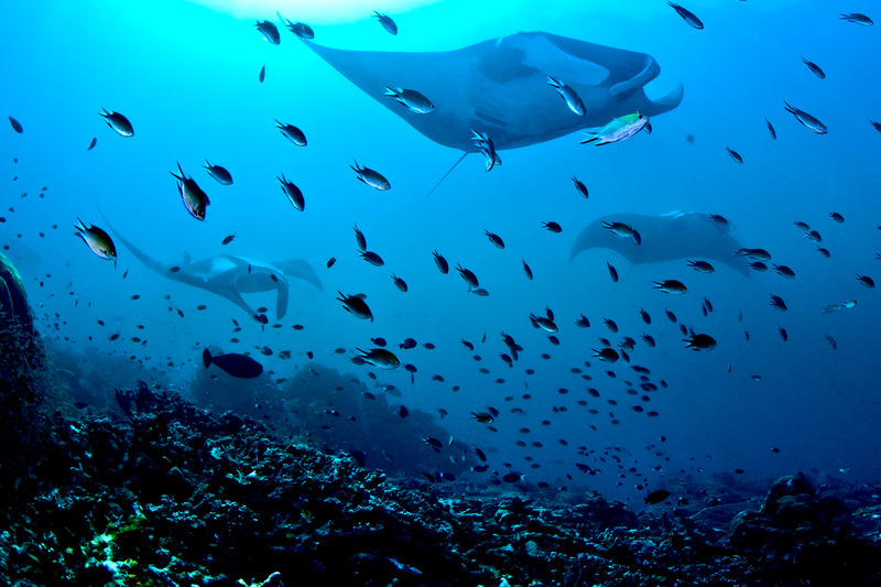Manta Rays Maldives Liveaboard Holiday
