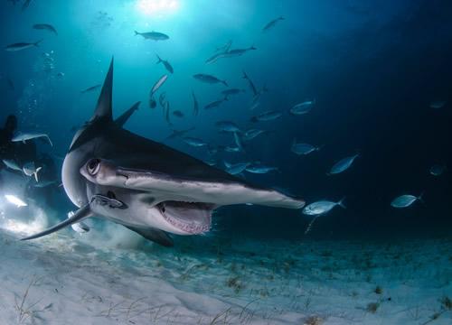 great-hammerhead-diving-bahamas