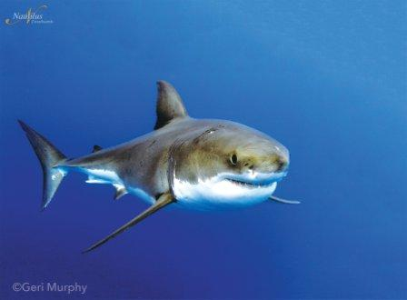 great white shark cage diving holiday