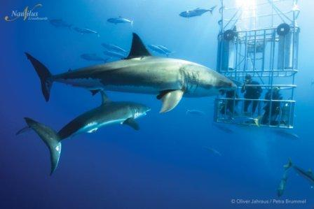 Dive with Great Whites in Guadalupe