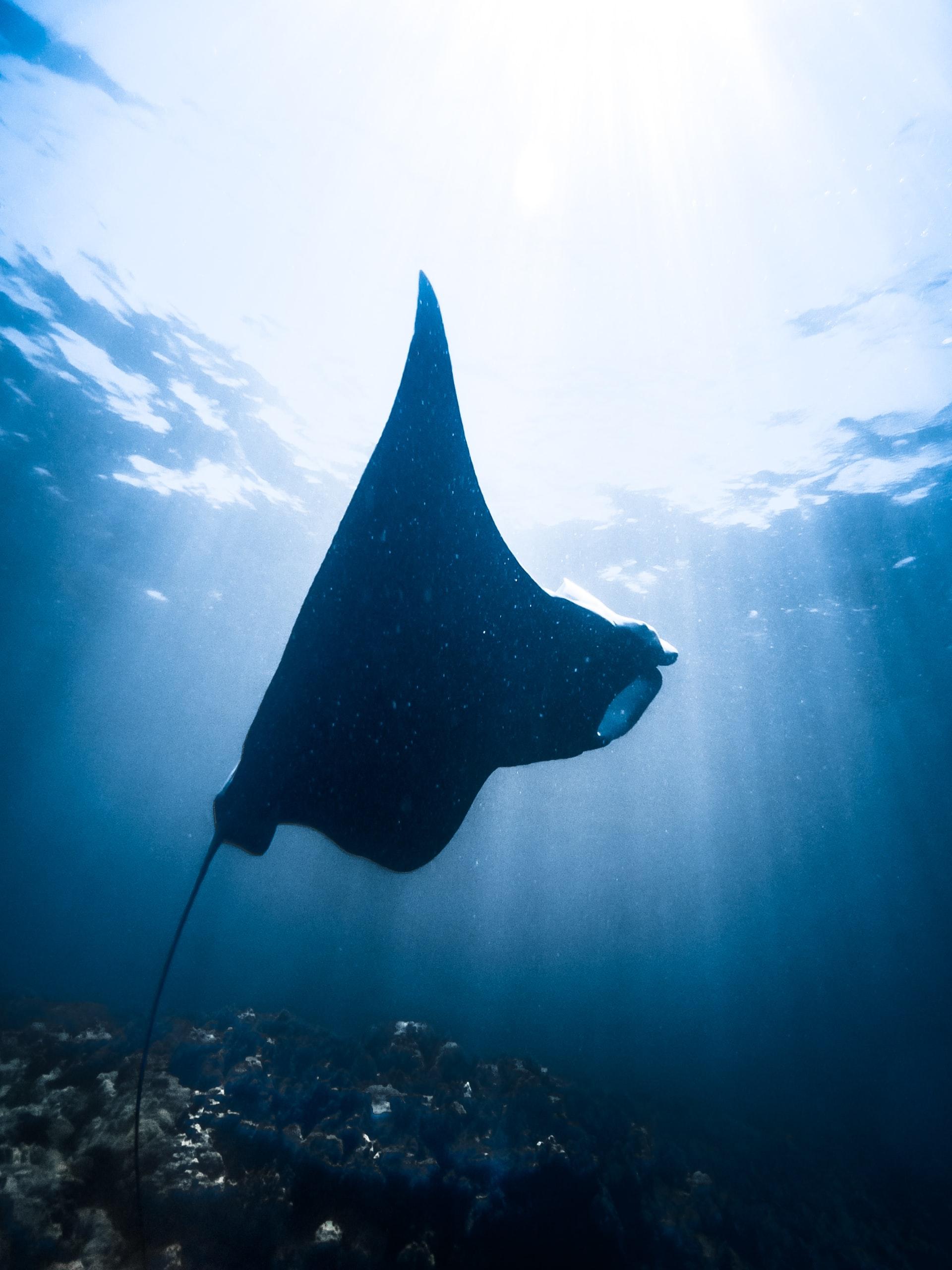 manta ray diving in lanzarote